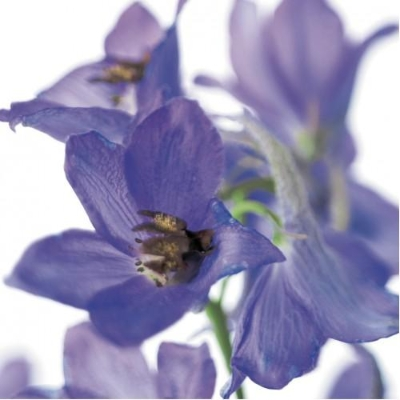 Floral Greeting Card   Delphinium