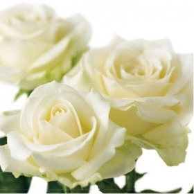 Floral Greeting Card   Ivory Roses