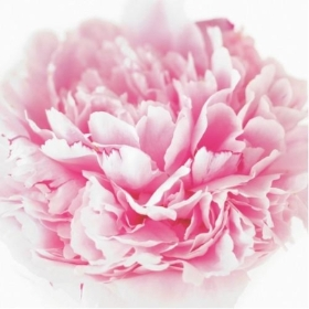 Floral Greeting Card   Pink Peony