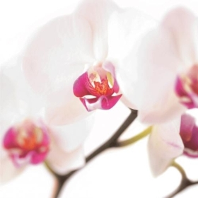 Floral Greeting Card   White & Pink Orchid