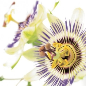 Floral Greeting Card   Passion Flower
